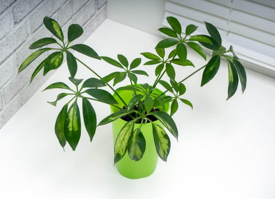 Umbrella Tree (Schefflera actinophylla)
