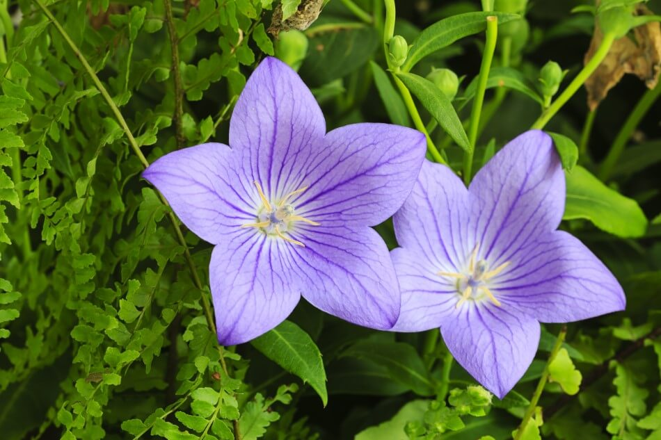 Uses and Benefits of Balloon Flowers