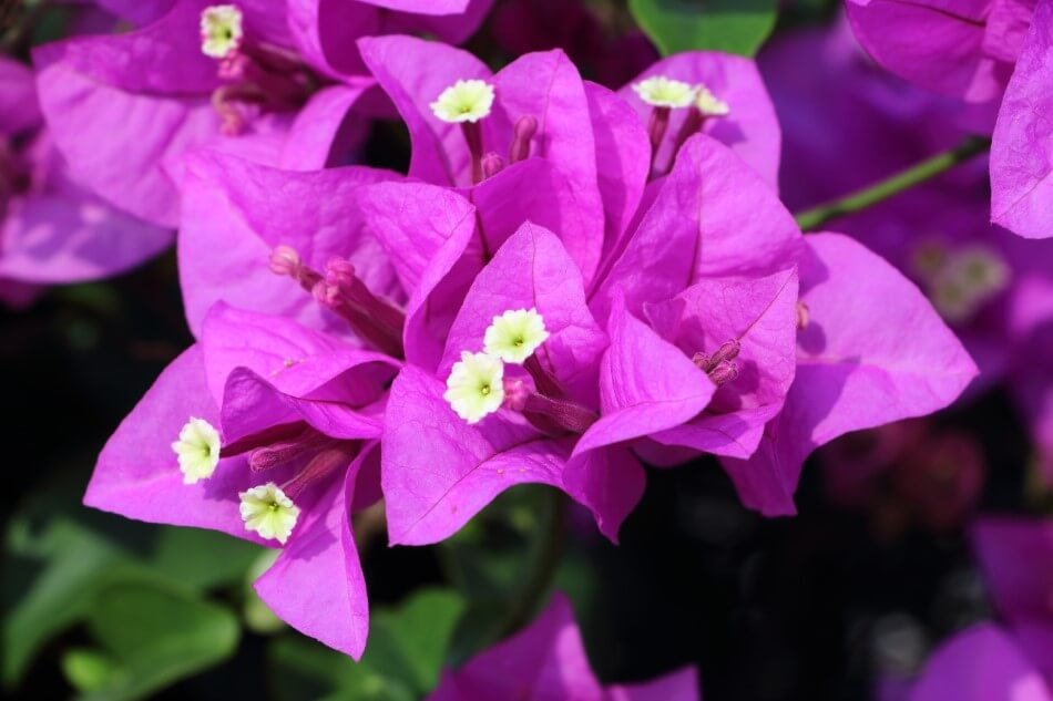 Uses and Benefits of Bougainvillea Flowers