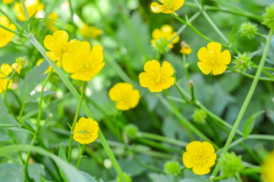 Uses and Benefits of Buttercup Flowers