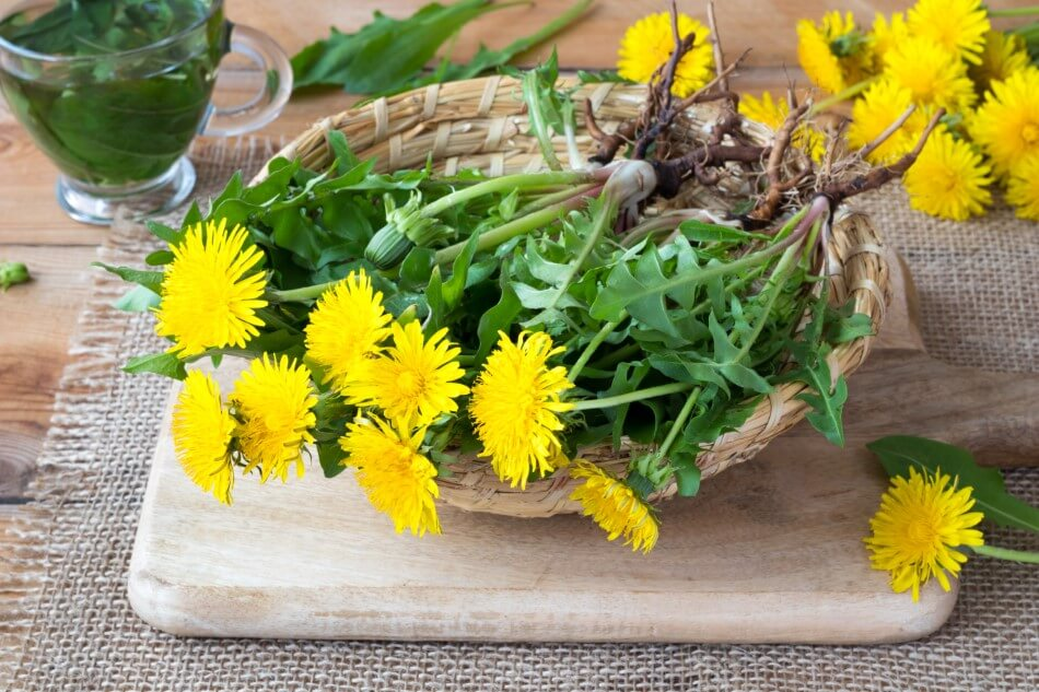 Uses and Benefits of Dandelion Flowers