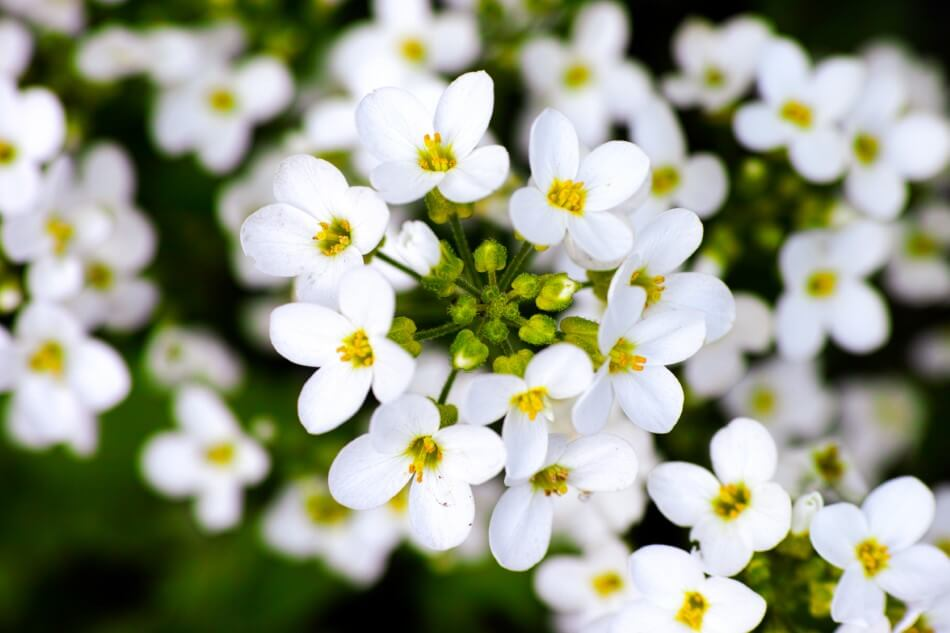 Uses and Benefits of Forget-Me-Not Flowers