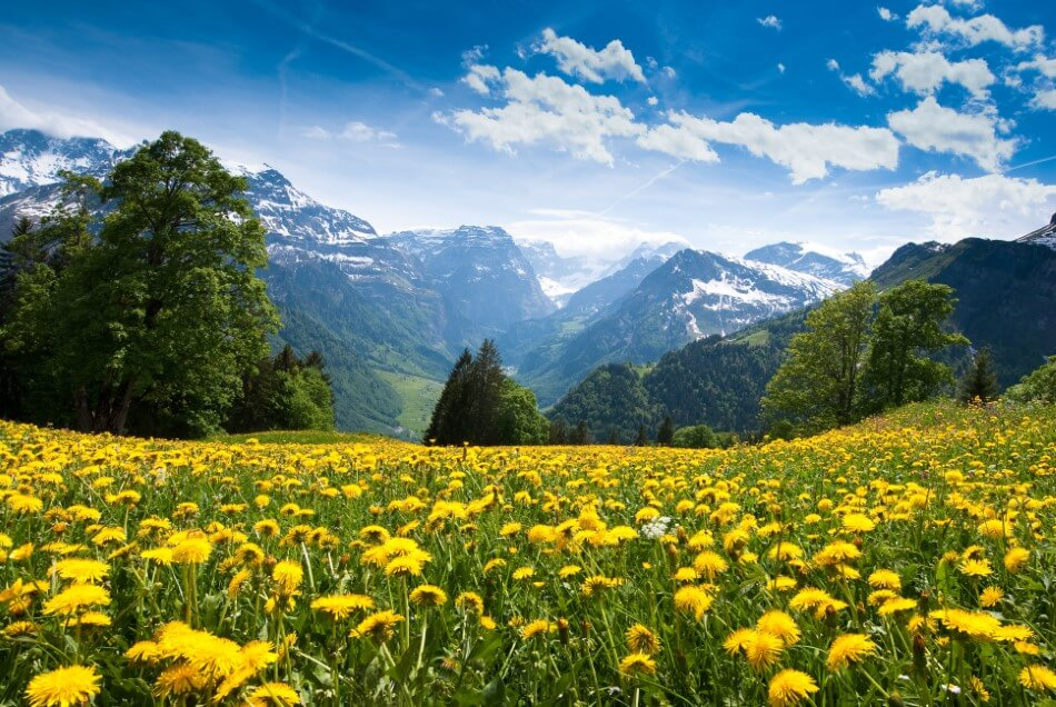 What Regions are Dandelion Flowers Native to