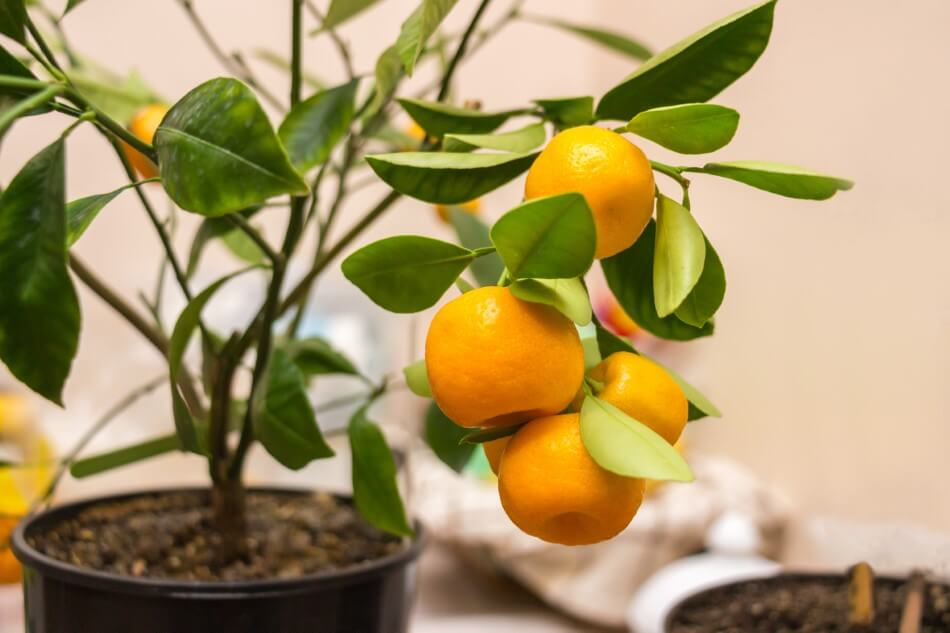 What Type of Water is Best Indoor Citrus Trees