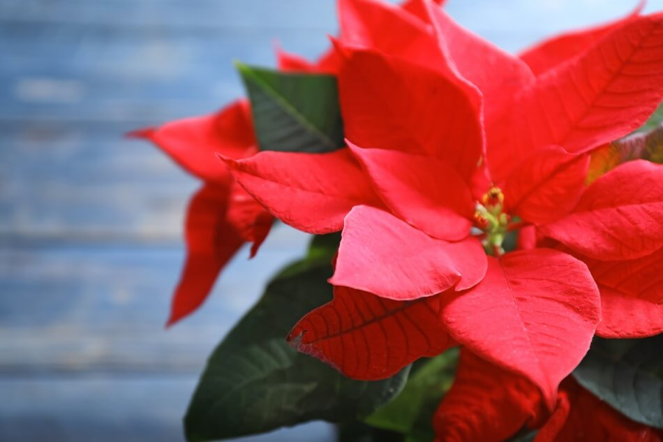 What do Red Flowers Mean Spiritually?