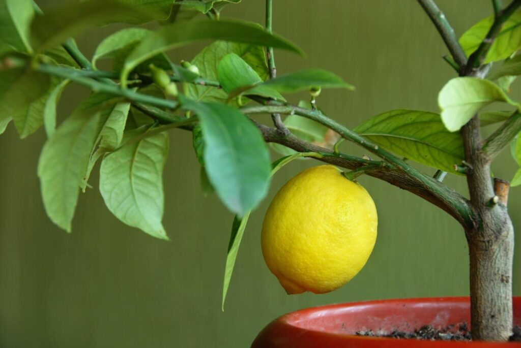 When and How to Water Indoor Citrus Trees (Essential Tips)