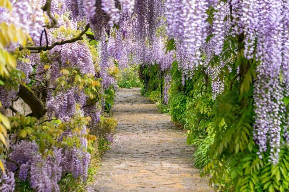 When are Wisteria Flowers in Season?