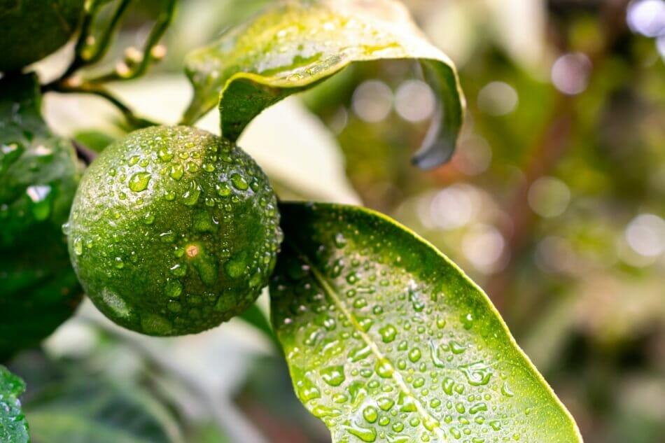 When to Water Indoor Citrus Trees