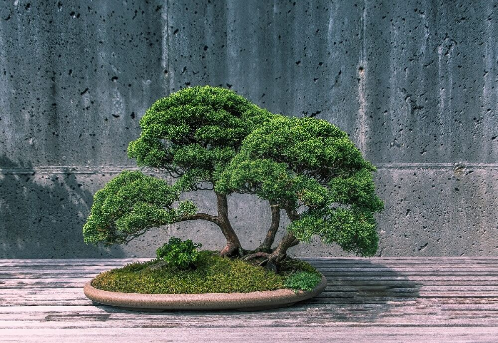 Where to find the best bonsai trees for sale in the USA