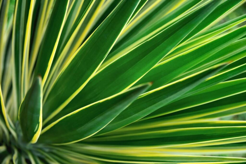 Best Yucca Plants to Grow at Home