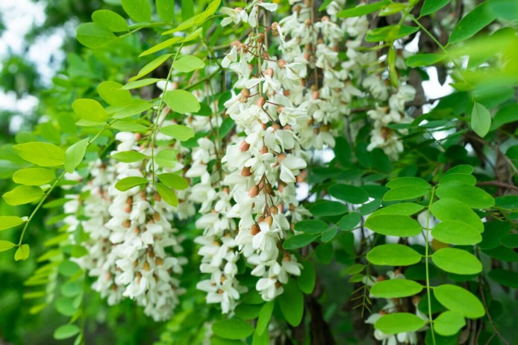 About Acacia Flowers