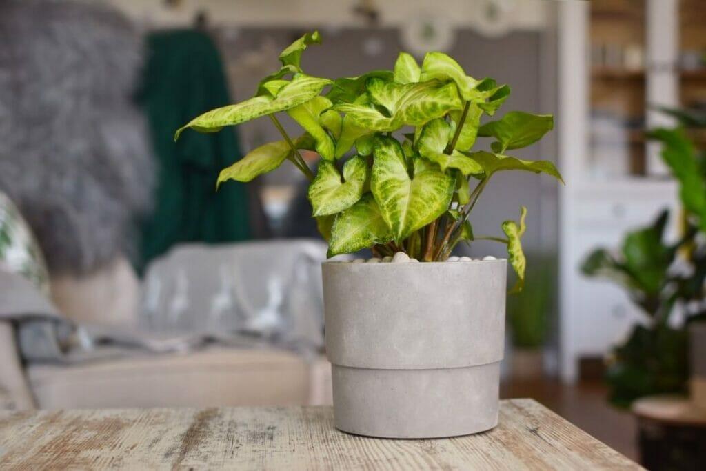 About Arrowhead Plants (Syngonium podophyllum)