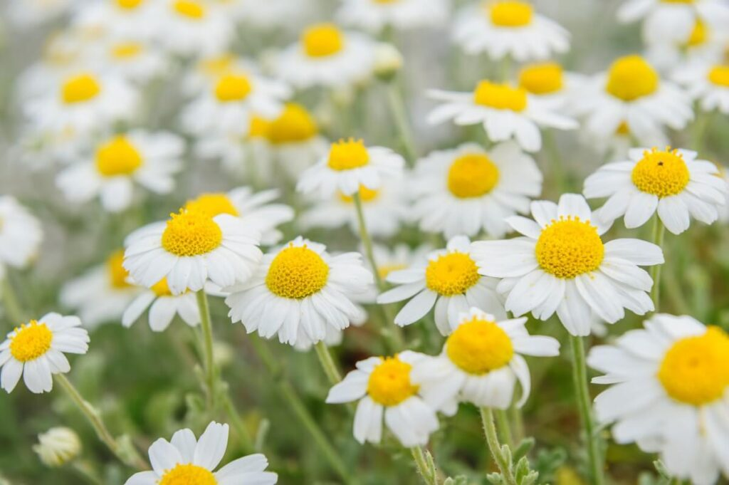 About Chamomile Flowers