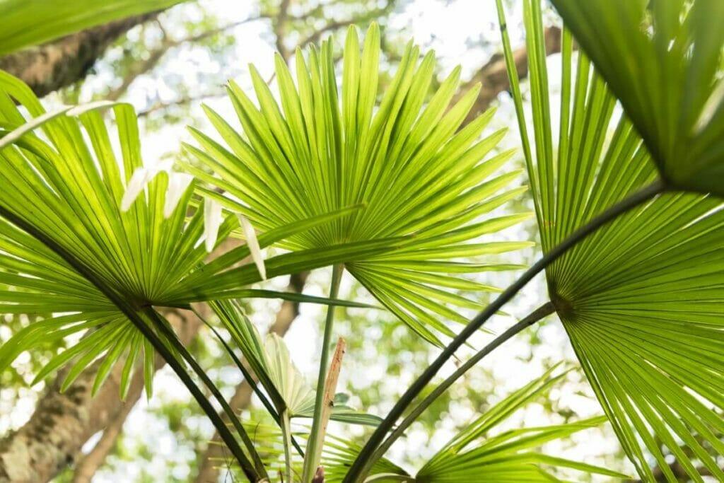 About Chinese Fan Palms (Livistona chinensis)