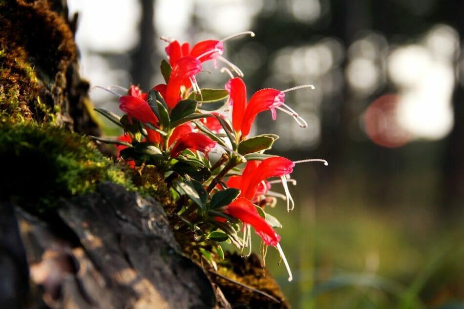 About Lipstick Plants (Aeschynanthus Radicans)