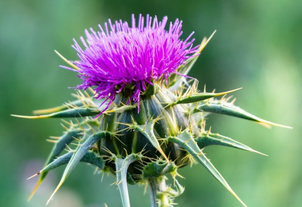 About Thistle Flowers