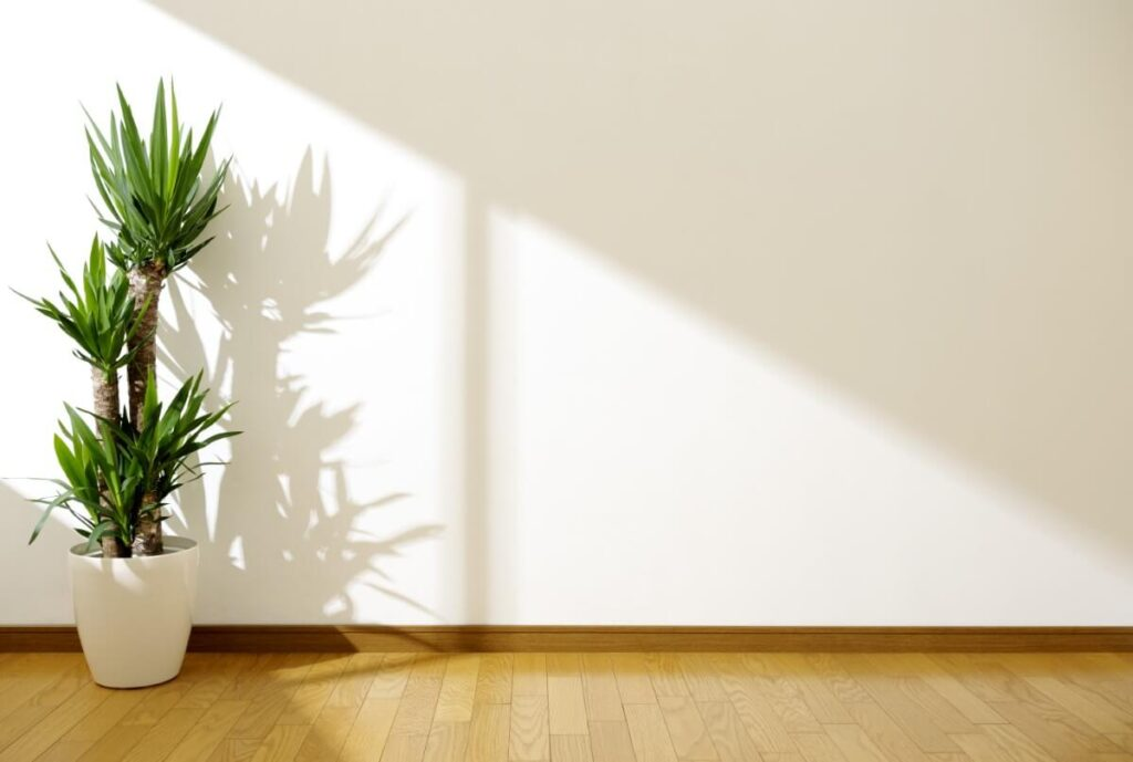 About Yucca Plants
