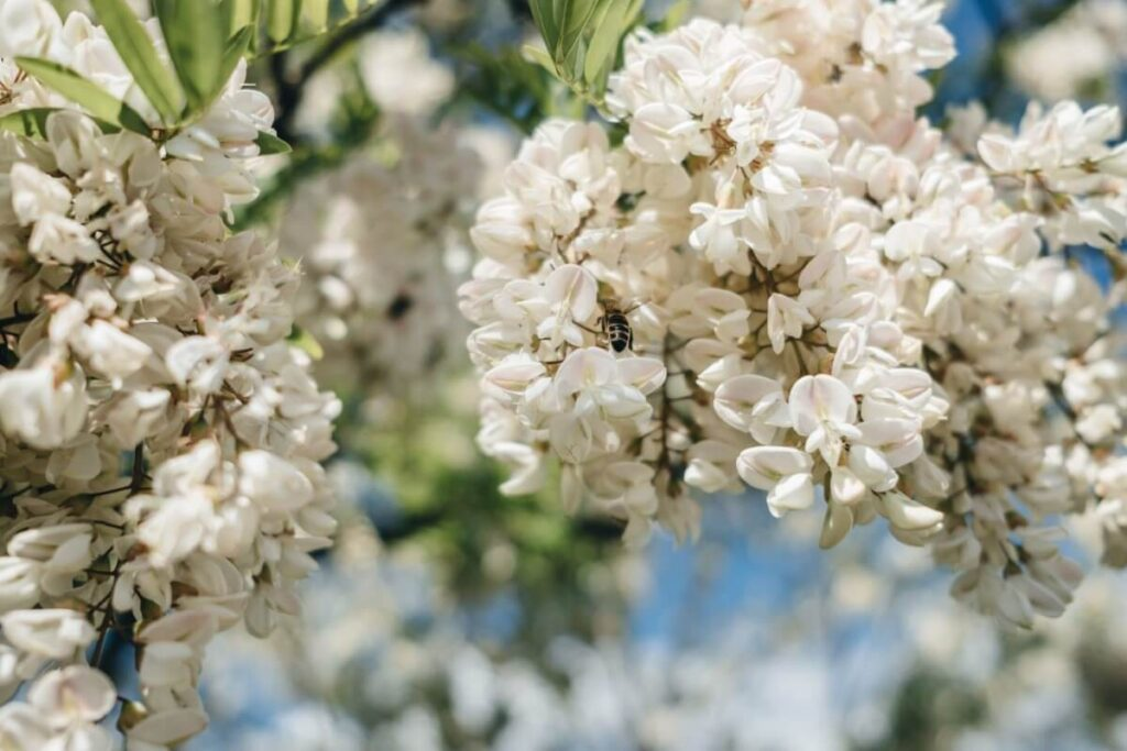 Acacia Flowers in the Victorian Flower Language