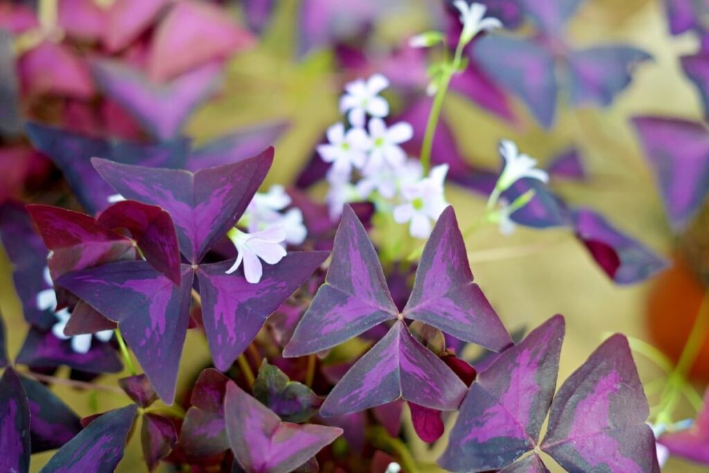 All About Oxalis Triangularis Plants