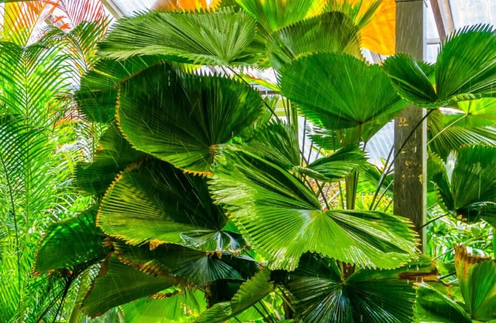 Are Chinese Fan Palms Toxic to Humans and Pets?