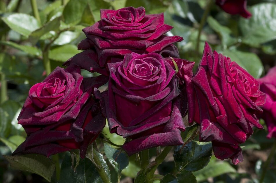 Black Baccara Rose (Rosa Hybrida 'Black Baccara')
