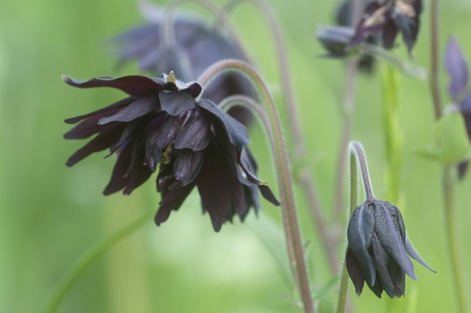 Black Barlow Columbine (Aquilegia vulgaris var. Stellata 'Black Barlow')