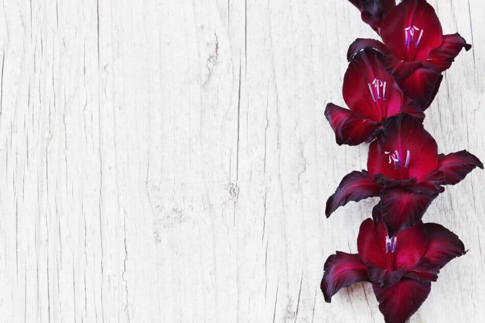Black Beauty Gladiolus (Gladiolus x hortulanus 'Black Beauty')