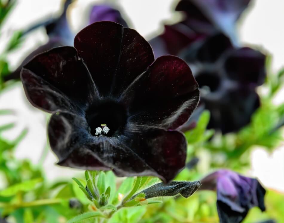 Black Flower Meaning and Symbolism