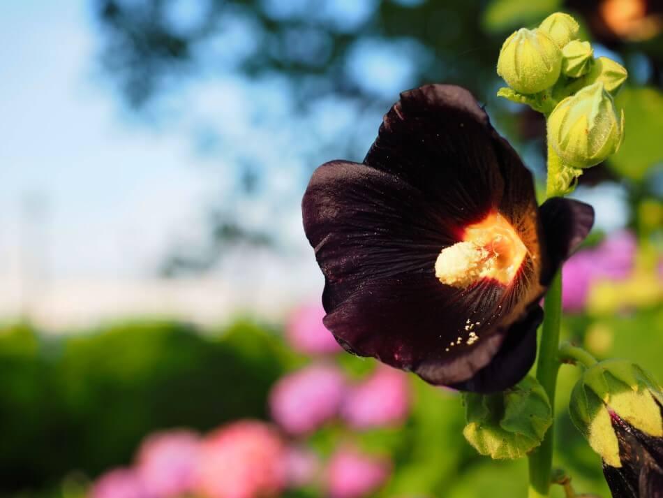 Black Hollyhock (Alcea rosea nigra)
