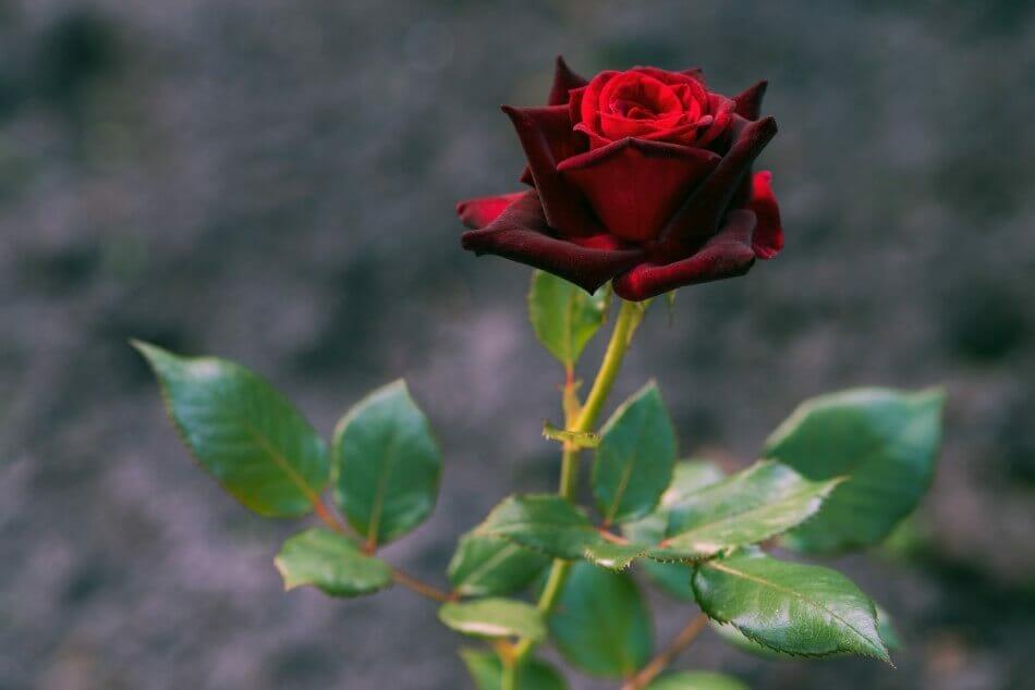 Black Magic Rose (Rosa Hybrida 'Black Magic')