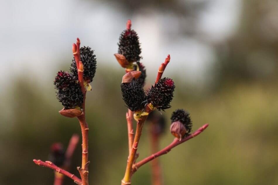 Black Pussy Willow (Salix gracilistyla 'Melanostachys')