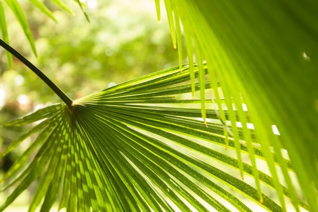 Chinese Fan Palm Light Preferences & Suitable Locations