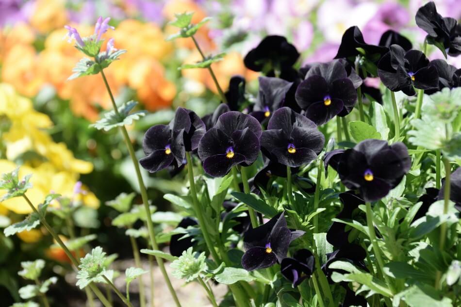 Clear Crystals Black Pansy (Viola x Wittrockiana 'Clear Crystals Black')