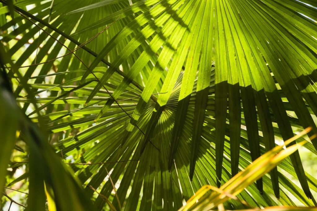 Common Chinese Fan Palm Problems & How to Treat Them