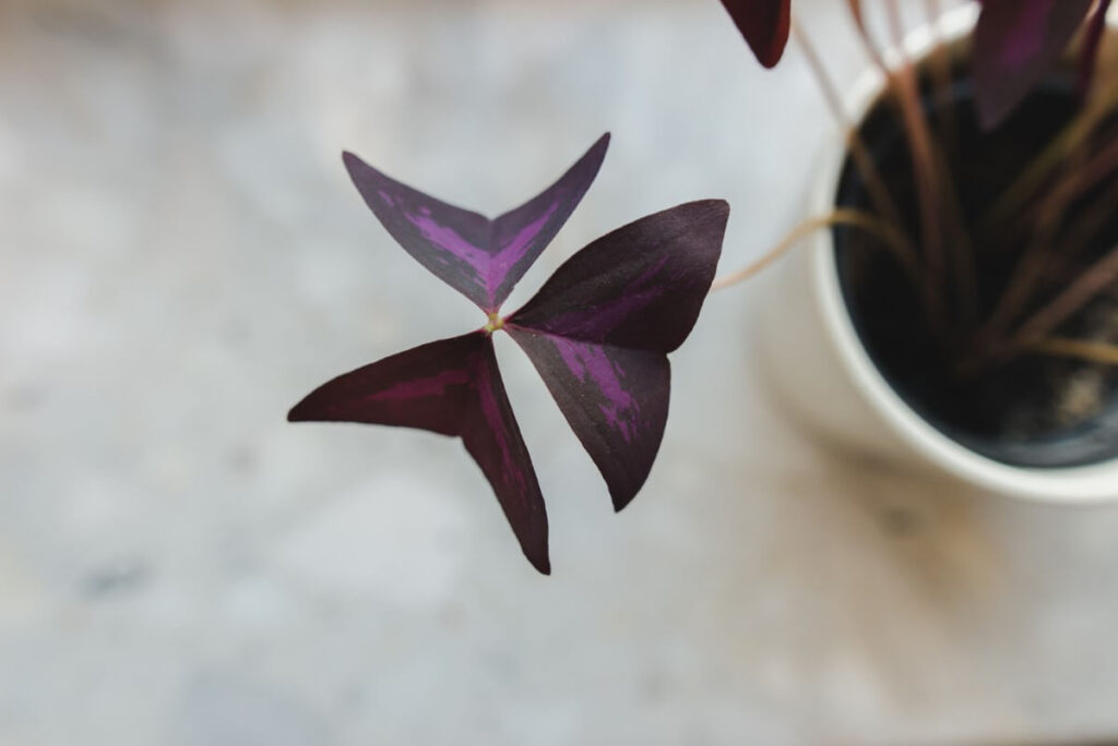 Common Problems With Oxalis Triangularis & How to Treat Them
