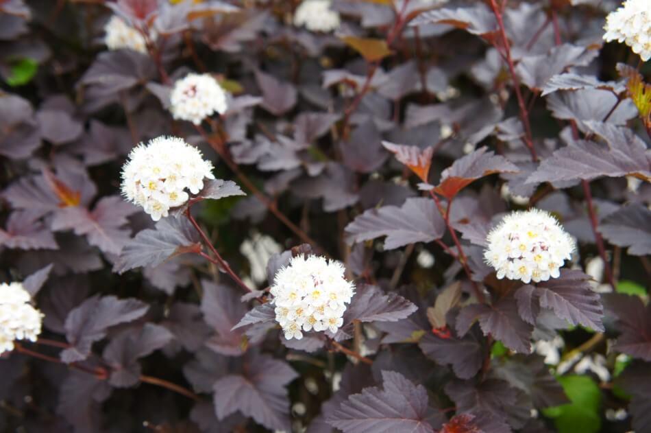 Diabolo Ninebark (Physocarpus opulifolius 'Diabolo')