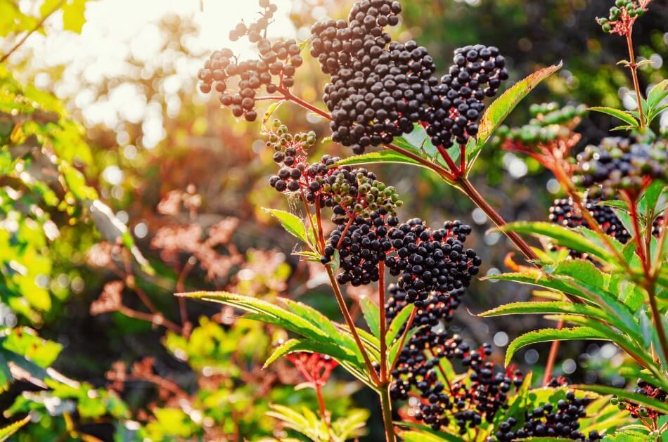 European Black Elderberry (Sambucus nigra)