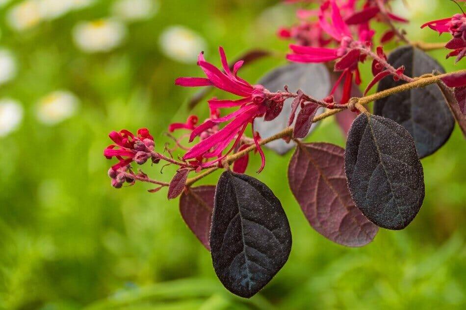 Fringe Flower (Loropetalum chinense var. Rubrum 'Black Pearl')