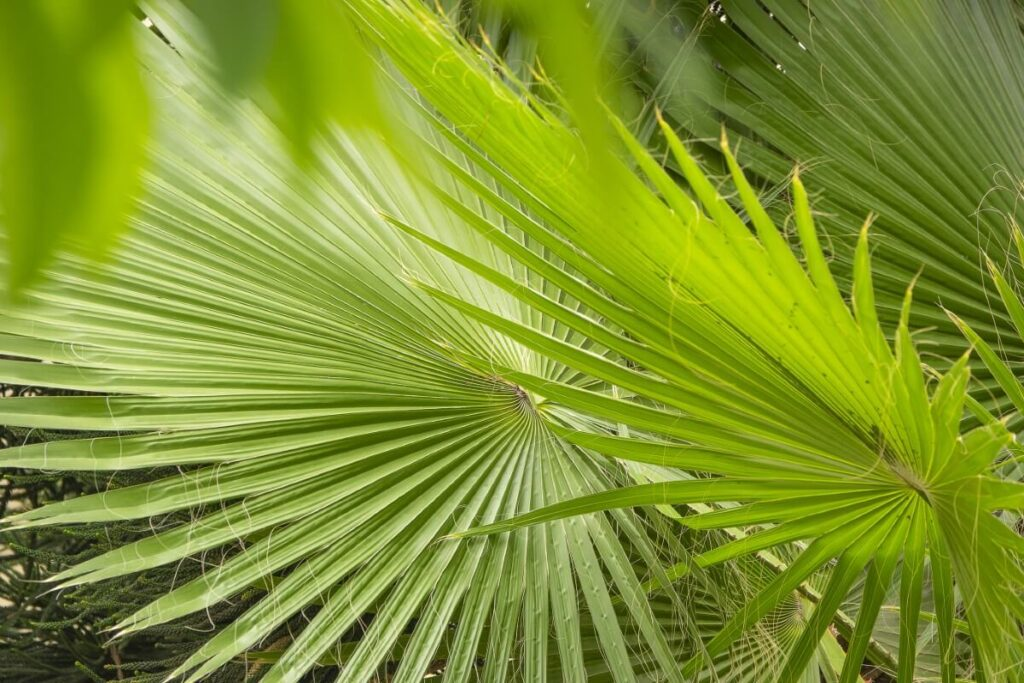 How to Care for Chinese Fan Palms at Home