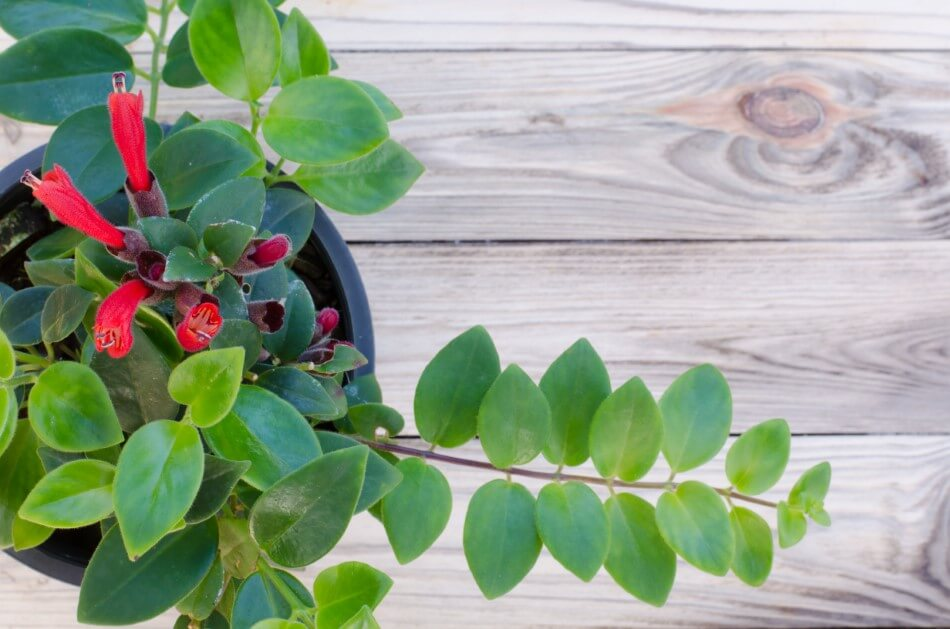 How to Care for Lipstick Plants at Home