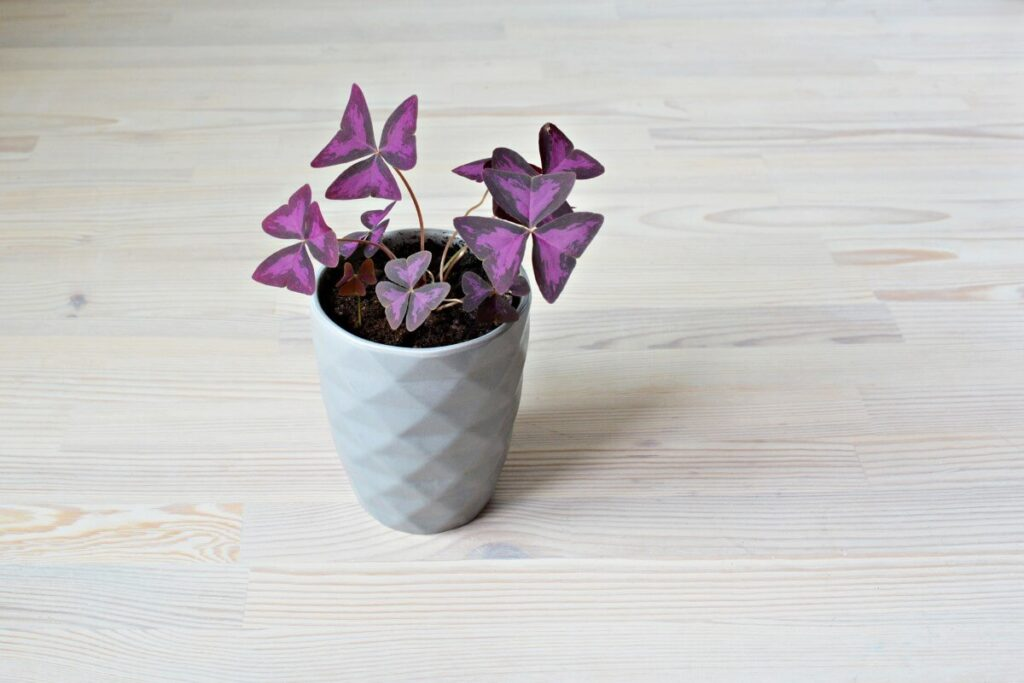 How to Care for Oxalis Triangularis Plants Indoors