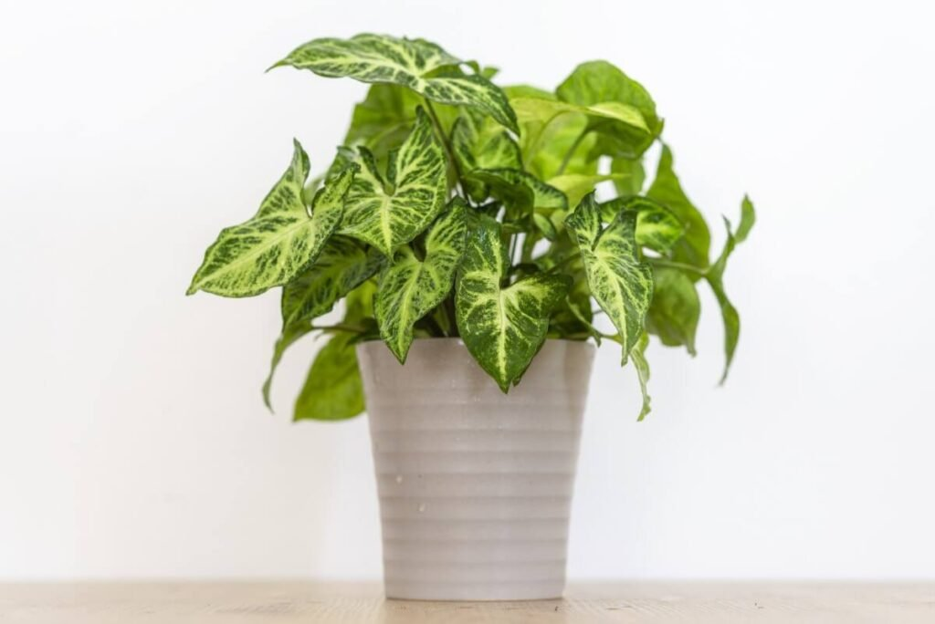 How to Care for Syngonium podophyllum Plants at Home