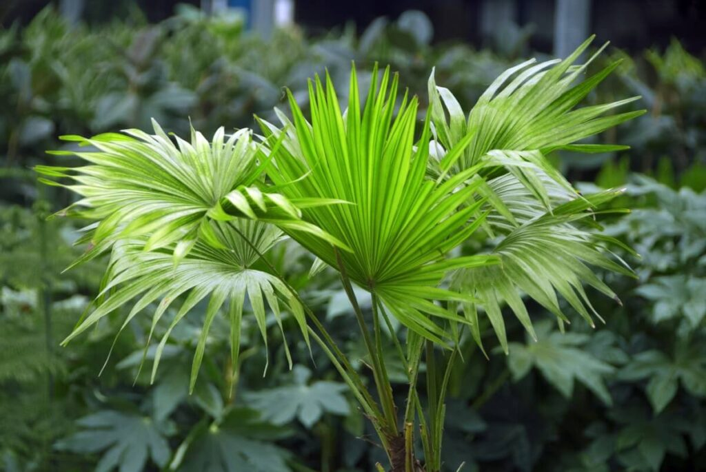 How to Grow Chinese Fan Palms Indoors at Home