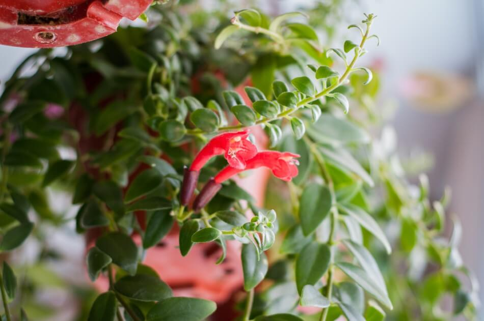 How to Grow Lipstick Plants Indoors at Home