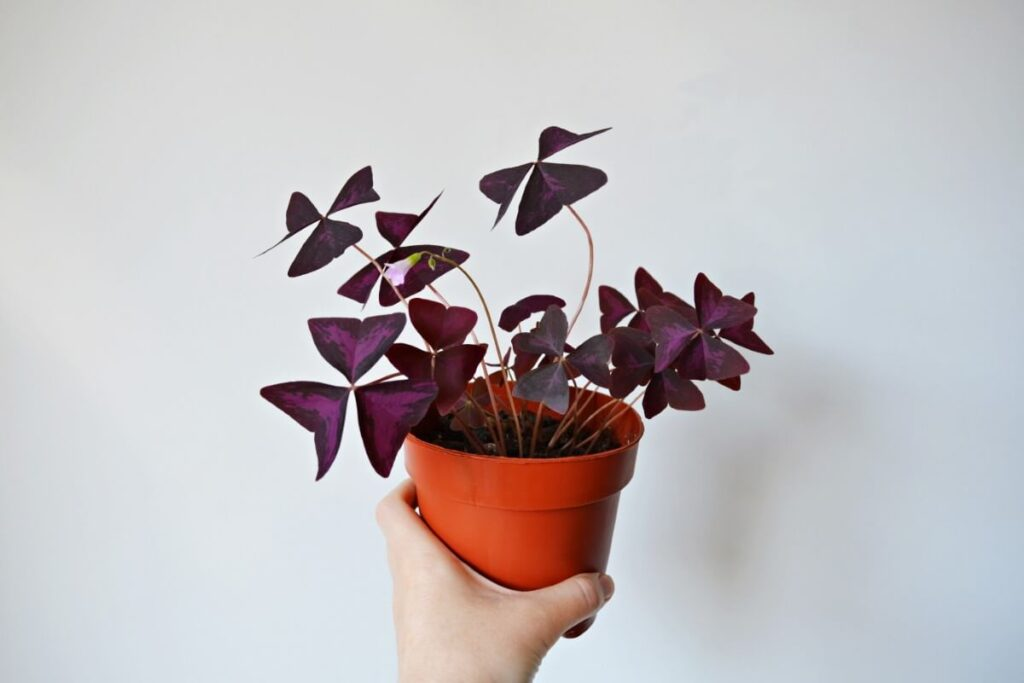 How to Grow Oxalis Triangularis Plants Indoors