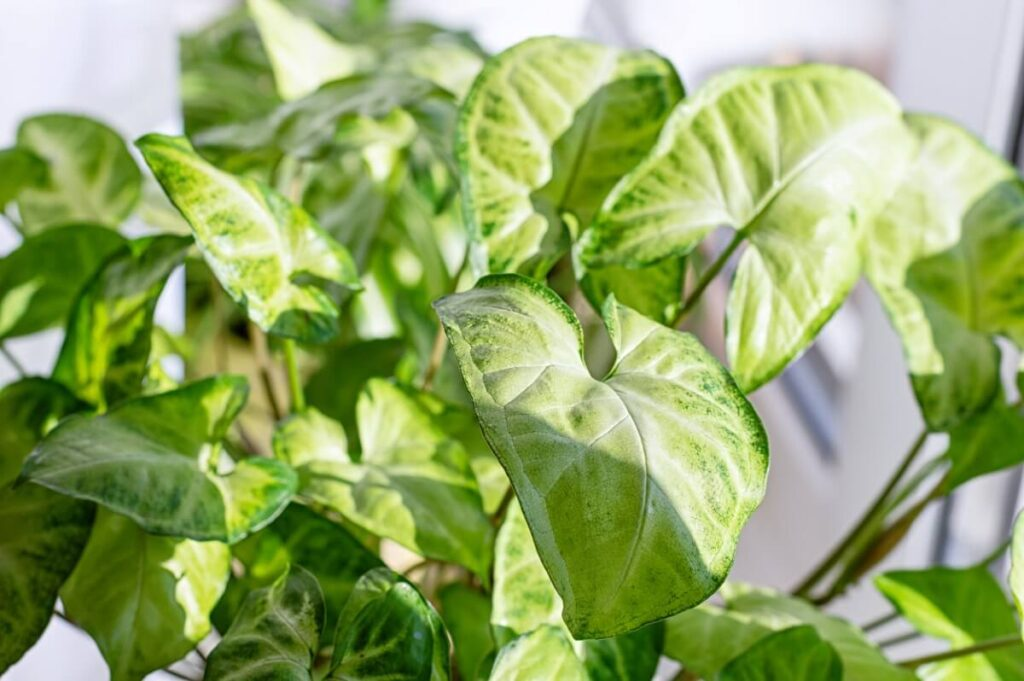 How to Grow Syngonium podophyllum Plants at Home
