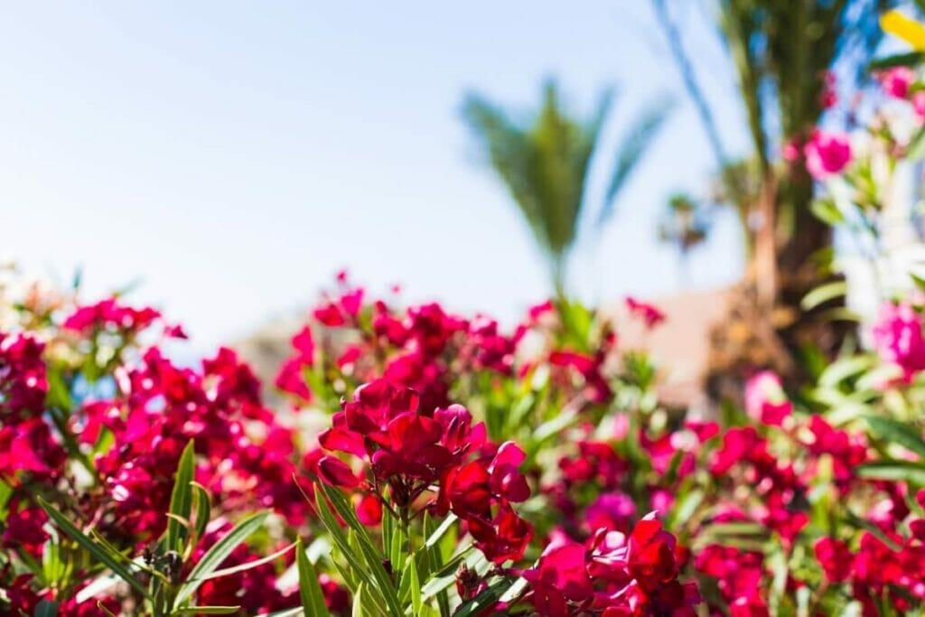 Oleander Flower Meaning & Symbolism