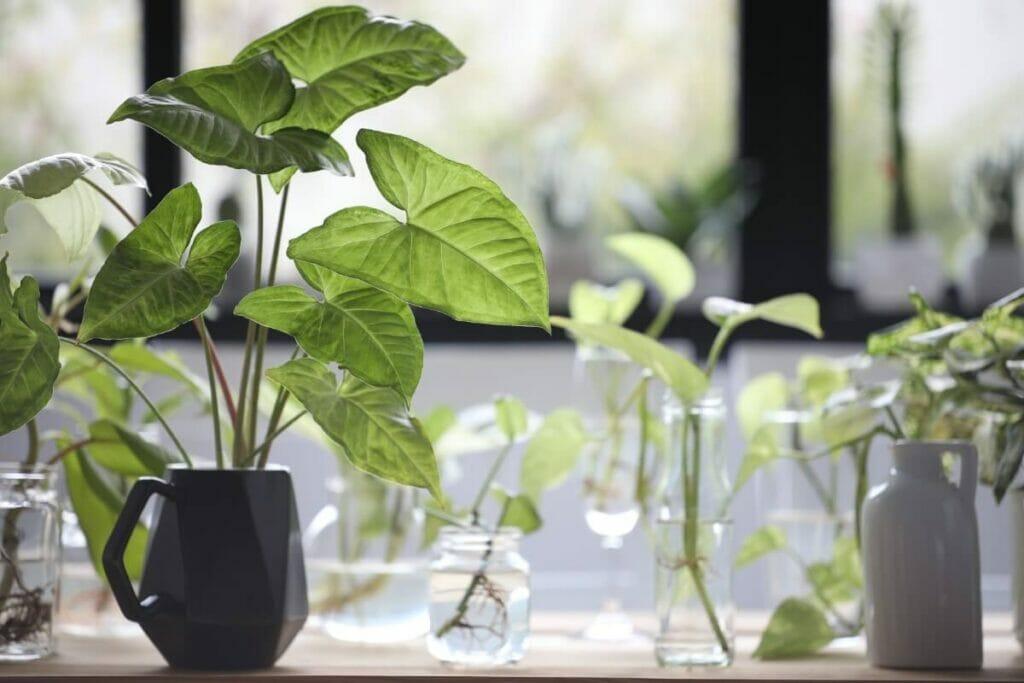 Propagating Arrowhead Plants