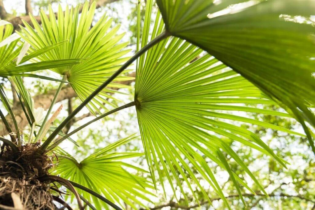 Propagating a Chinese Fan Palm
