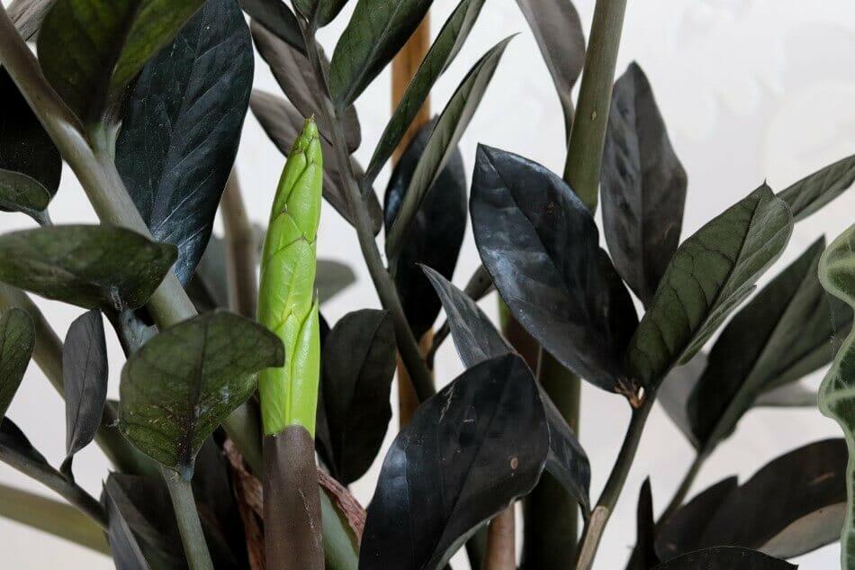 Raven ZZ Plant (Zamioculcas zamiifolia 'Raven')